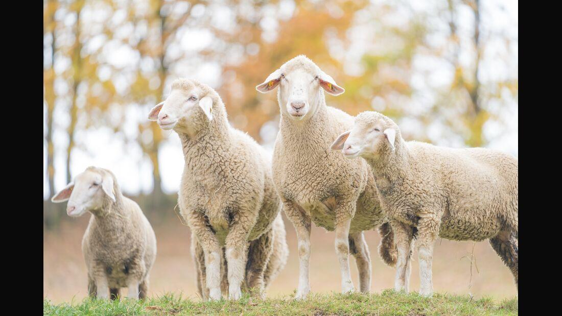 Merino sheep on field