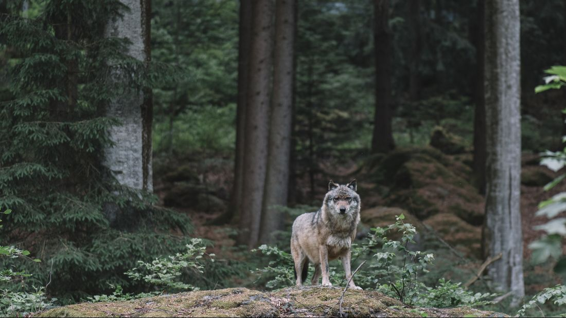 Wolf at Bayerischer Wald national park, Germany